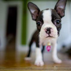 <3 Boston Terrier Pup
