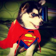 Super Husky!