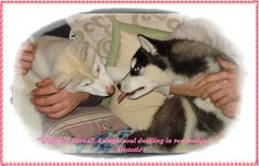 Funny husky pictures, husky puppies