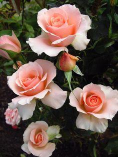 Beautiful Rose Garden -- by JonM26 modern gardens, pink roses, pale pink, peach, garden design ideas, rose garden, modern garden design, flower, beauti rose