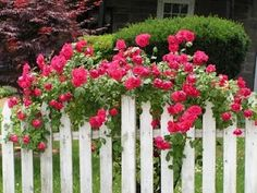 roses on white picket fence