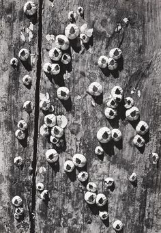 """barnacles, cape cod,"" 1938, by ansel adams."
