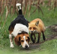 hunting dogs, beagl, real life, the real, fox hunting, den, friend, animal, red fox