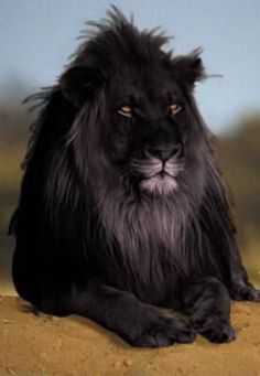 Beautiful abnormally. Melanistic Lion