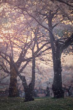 Hanafubuki - Cherry blossom blizzard, Japan