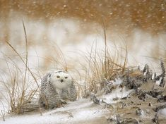 Snowy Owl - Photograph by James Galletto - National Geographic Photo of the day