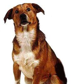 austrian pinscher dog more pinscher dogs austrian pinscher austrian ...