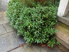 Plant Sweetbox just because it's fragrance is addicting.  Fantastic evergreen for shade. Scratching a Niche - NYTimes.com