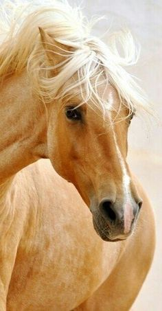 •♥•✿ڿڰۣ(̆̃̃•Aussiegirl #Horses Stunning Palomino.