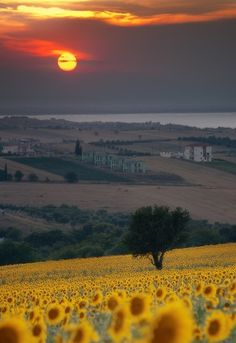 one day, heart, dreams, sunsets, sunflowers, tuscany italy, places, summer days, fields