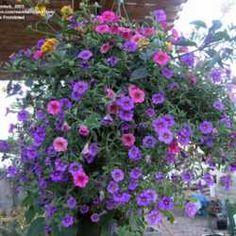 Flower arranging ideas on pinterest petunias container - Calibrachoa perenne ...