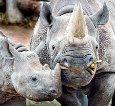 black rhino mama and baby........I love to see pics of rhinos....my only hope is they are still alive!!