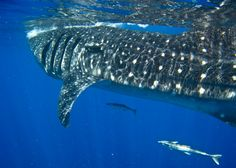 "Whale shark ""domino"" -- each #whaleshark has spots that are unique"