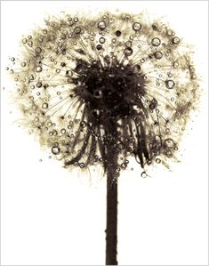 Dandelion by Irving Penn