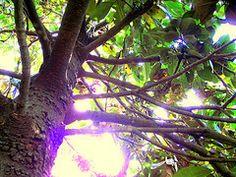 climbing magnolia trees