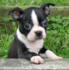 boston terrior puppy!