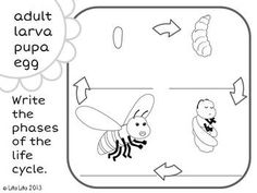 Bee life cycle FREEBIE