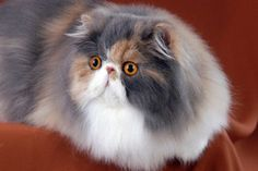 Persian and exotic cats, kittens of cattery PartHeart.