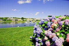 Hydrangeas at Green Harbor Resort Cape Cod, MA