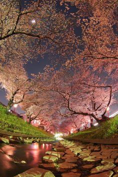 #pink #sakura #cherryblossom
