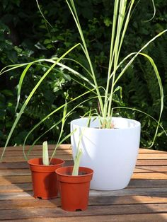How to Grow Lemon Grass - on HGTV