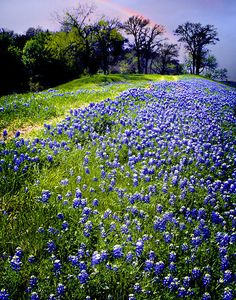 Bluebonnets and Rainbow