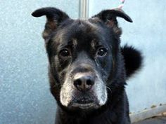 TO BE DESTROYED 11/26/13  Manhattan Center   SHADOW - A0984755 *** SAFER: NH ONLY ***  NEUTERED MALE, BLACK / TAN, ROTTWEILER MIX, 9 yrs STRAY - ONHOLDHERE, HOLD FOR ID Reason STRAY  Intake condition NONE Intake Date 11/12/2013, From NY 10462, DueOut Date 11/19/2013, I came in with Group/Litter #K13-15998 https://www.facebook.com/photo.php?fbid=710905395589009&set=a.617942388218644.1073741870.152876678058553&type=3&theater