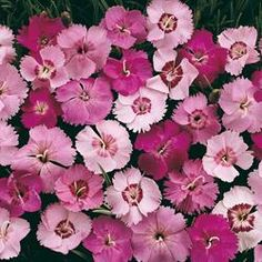 Dianthus, Pinks - Full sun to partial shade, blooms late spring and long lasting blooms, average to dry soil.