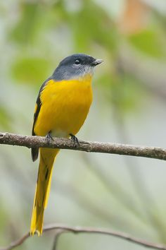 ☀ Grey chinned Minivet  by Allan Seah