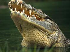 Primer plano de un cocodrilo del Nilo