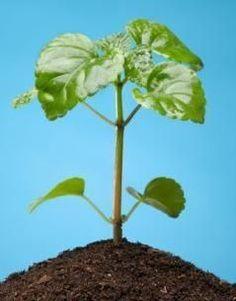 Citronella Plant Care