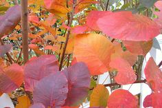 Smokebush turns brilliant colors each fall before the leaves drop.