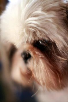 Shih Tzu, Larry ... puppy mill survivor