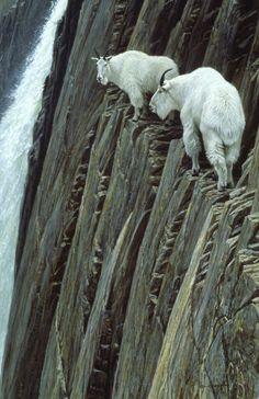 goats, rock climbing, mountains, anim, amaz, mountain goat, natur, robert bateman, mountaingoat