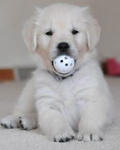 English Golden Retriever... omgoodness I want one!