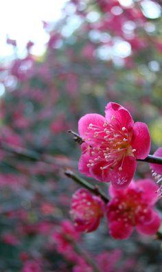 Japanese ume (plum blossoms) Kamakura, Japan