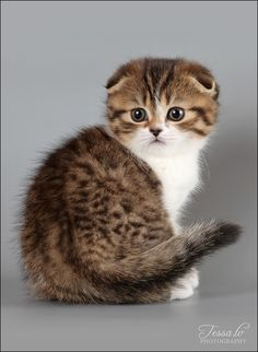Kitten. It's so fluffy I'm gonna die. It is a Scottish fold cat.....their ears stay folded.