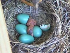 baby robins hatching