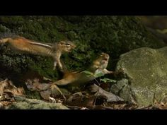Don't Mess With a Chipmunk's Nuts | North America