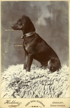 A cabinet card taken in the late 19th century in Moseley, Birmingham    Manchester terrrier, dog