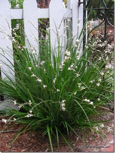 St. Bernard's Lily - takes a while to grow, full shade, flowers throughout the summer, can have dry soil