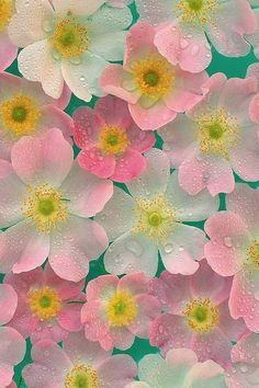 rose, pink flowers, anemon, pastel colors, rain drops, water droplets, soft pastels, flowers garden, cherry blossoms