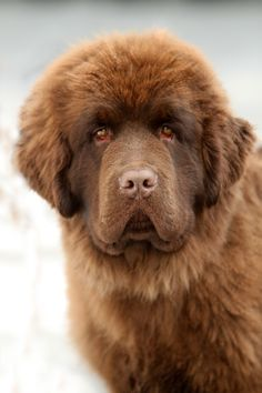 Newfoundland dog #newfie