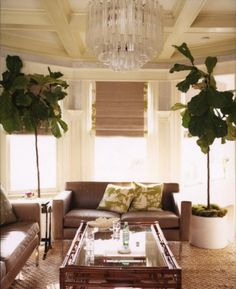 My new favorite accessory: The Fiddle Leaf Fig Tree. These trees really add a great punch of color and life to any room.