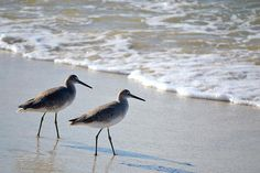 Gulf coast shorebirds