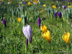 Easter Crocuses in London | http://www.aladyinlondon.com