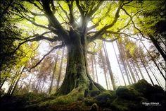 ponthus beech - broceliande forest - france (by Philippe MANGUIN)  www.photosdebretagne.com