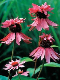 Echinacea Double Decker