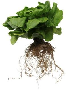 How to Get Plants to Regrow Roots
