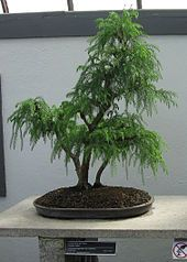 bonzai, bonsai trees, bonsai beauti, filecryptomeria japonica, ebay, pine, japonica sugi, garden, bonsai plant